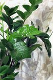 Houseplant in a pot. Green plant close up stock photo
