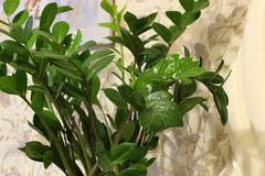 Houseplant in a pot. Green plant close up royalty free stock image