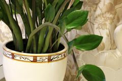 Houseplant in a pot. Green plant close up royalty free stock photography