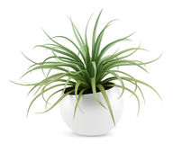 Houseplant in pot isolated on white Royalty Free Stock Image