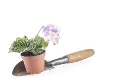 Houseplant in pot on a shovel Royalty Free Stock Photo