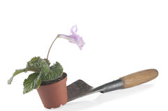 Houseplant in pot on a shovel Stock Photo