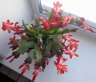 Houseplant-rött Decembrist arkivfoto