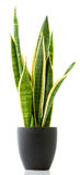Houseplant - Sansevieria Royalty Free Stock Photography