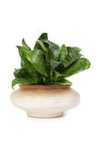 Houseplant sansevieria in flowerpot Royalty Free Stock Photos