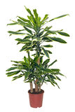 Houseplant sansevieriya in brown pot Stock Image