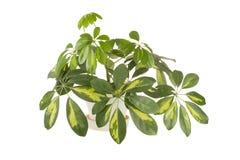 Houseplant of a shefflera Royalty Free Stock Image