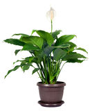 Houseplant - Spathiphyllum floribundum Royalty Free Stock Photography
