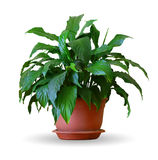 Houseplant - spathiphyllum a potted plant isolated over white Stock Photos