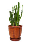 Houseplant stapelia hirsuta in flowerpot Stock Photos