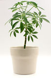 Houseplant. Studio shot of a plant in white pot Royalty Free Stock Photography