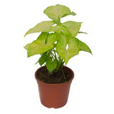 Houseplant Syngonium Stock Photo