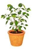 Houseplant tangerine drzewo fotografia stock