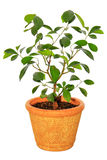Kumquat tree potted Stock Photography