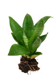 Houseplant tree Royalty Free Stock Image