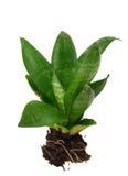 Houseplant tree Royalty Free Stock Image