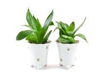 Houseplant twee Royalty-vrije Stock Afbeelding