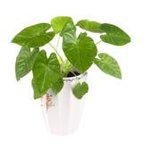 Houseplant verde Fotografie Stock