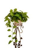 Houseplant on white Stock Images