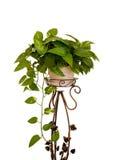 Houseplant on white Stock Images