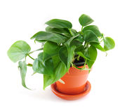 Houseplant on white background Royalty Free Stock Images