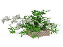 Houseplant with White Flowers Stock Photography