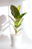Houseplant in a wicker pot Stock Photography