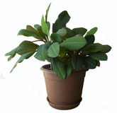 Houseplant wolfsmelkleuconeura Royalty-vrije Stock Foto's