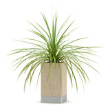 Houseplant in wooden pot isolated on white Royalty Free Stock Photo