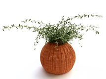 Houseplant in Woven Flowerpot Royalty Free Stock Image