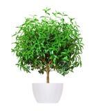 Houseplant - yang myrten en inlagd växt som isoleras över vit arkivbild