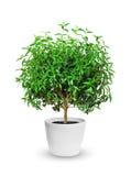Houseplant - yang myrten en inlagd växt som isoleras över vit royaltyfri bild