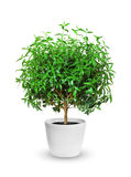 Houseplant - yang myrtle a potted plant isolated over white. Young myrtle a potted plant isolated over white royalty free stock image
