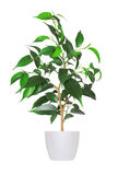 Houseplant - yang sprout of ficus a potted plant isolated over w Stock Photo