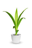Houseplant - yang sprout of Yucca a potted plant isolated over w Stock Photography