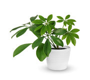 Houseplant - young Schefflera a potted plant isolated over white. Young Schefflera a potted plant isolated over white Stock Images