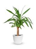 Houseplant - Yucca elephantipes een ingemaakte die installatie over whi wordt geïsoleerd stock foto's