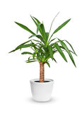 Houseplant - Yucca elephantipes a potted plant isolated over whi Stock Photos
