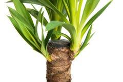 Houseplant Yucca isolated on white background Stock Photo
