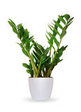 Houseplant - Zamioculcas a potted plant isolated over white Stock Photography