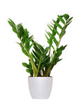 Houseplant - Zamioculcas a potted plant isolated over white Royalty Free Stock Photo