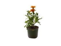 Houseplantblume Lizenzfreies Stockfoto