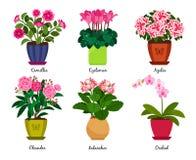 Houseplanten blommar i krukor Royaltyfri Foto
