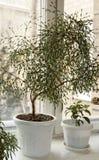 Houseplants на окне Стоковая Фотография