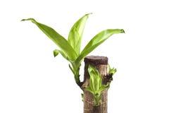 houseplants предпосылки изолировали белизну Стоковая Фотография RF