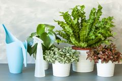 Houseplants Asplenium nidus, peperomia and fittonia in flowerpot royalty free stock photography