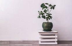 houseplants: blomstra citronen i en grön kruka mot Arkivbild