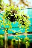Houseplants in den Wassertropfen eines Grüns Lizenzfreies Stockfoto