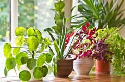 Houseplants display. House plants or indoor plants. Houseplants display beside the house window. Green lush indoor plants royalty free stock images
