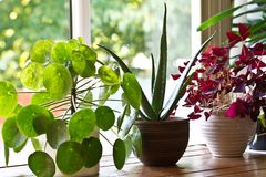 Houseplants display. Various house plants or indoor plants. Houseplants display beside the house window. Green lush indoor plants Royalty Free Stock Photography